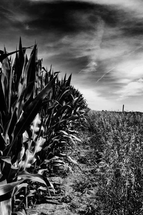 Corn Field 900
